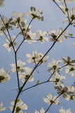 A Dogwood Tree Blossoming in Spring