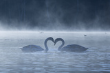 Two Mute Swans in Love  Cygnus Olor  Swim in a Pond in Richmond Park at Sunrise