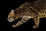 A Federally Endangered Southern Brazilian Ocelot  Leopardus Pardalis Mitis  at the Cincinnati Zoo