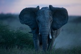 An African Elephant Matriarch Charges