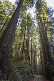 Giant Redwood Trees Tower over a Dirt Road in Stout Grove
