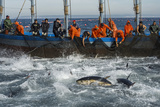Spanish Fishermen Haul in Tuna That They Have Trapped in a Maze of Nets