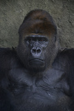 Portrait of a Western Lowland Gorilla at the Miami Metro Zoo