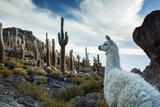 A Llama Watches Out over Isla Del Pescado Above Salar De Uyuni