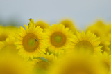 An American Goldfinch  Carduelis Tristis  on a Sunflower in a Field of Sunflowers