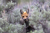 A Red Fox  Vulpes Vulpes  Stands Amidst Shrubs after Catching a Rodent