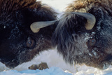 Young Adult Male Bison Spar in Snow