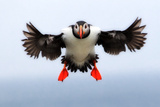 Portrait of an Atlantic Puffin  Fratercula Arctica  in Flight with Wings and Feet Spread
