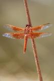 An Orange Dragonfly on an Orange Reed
