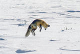 A Red Fox Pounces onto Mice or Voles Hidden under the Snow