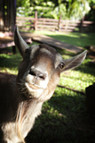 A Curious Goat Peers into the Camera Lens