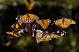 Monarchs Feeding on Milkweed in the Sierra Chincua Monarch Sanctuary  Michoacan  Mexico