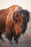 A Portrait of a Bison on a Ranch