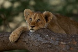 A Lion Cub Rests on a Tree Branch in Serengeti National Park
