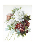A Bouquet of Red  Pink and White Peonies