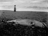 Beached Dolphin  Devon  1908