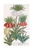 Lilium Corona Imperialis