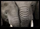 Câlin d'éléphants Reproduction d'art par Michel & Christine Denis-Huot