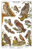 Owls A - Birds of Prey