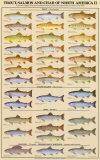 Trout  Salmon & Char of North America II