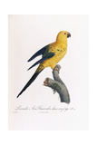 Golden Parakeet  Ara Guarouba  at an Early Age