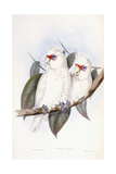 Long-Billed Cockatoo