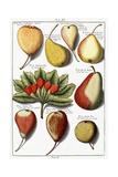 Various Pear Species  1760-1766