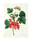 Currants: Red