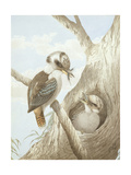 Kookaburras Feeding at a Nest in a Tree  1892