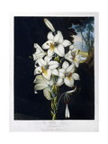 The White Lily  1799