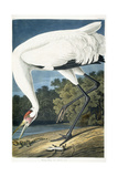 Whooping Crane  Adult Male  1834