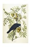 American Crow  1833