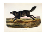 Black American Wolf  Male  1845