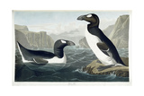 Great Auk  1836