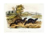 Mountain Brook Mink  C1849-1854