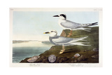 Havell's Tern and Trudeau's Tern  1838