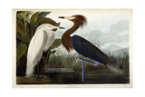 Purple Heron  C1835