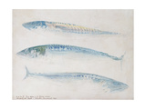 A Sketch of Three Mackerel