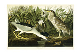 Night Heron or Lua Bird  1835