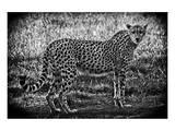 Cheetah B+W