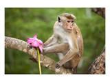 Monkey in the Temple District of the Dambulla Cave Temple  Sri Lanka