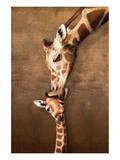 Giraffe Mother's Kiss Reproduction d'art