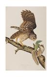 Illustration from 'Birds of America' by John James Audubon  1827-38