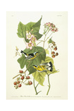 Black and Yellow Warbler and Flowering Raspberry  C1826-1838