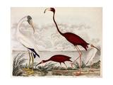 Wood Ibis  Scarlet Flamingo  White Ibis  C1828-1829