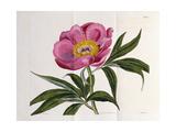Illustration  Number 2264  from 'The Botanical Magazine'  1787-1826