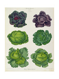 Cabbages: Tab 1 from the `Album Benary'  C1876