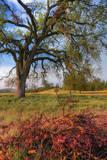 Spring Oak Scene  Central Valley  California