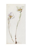 A Painting of a Sprig of Sego Lily and its Blossom