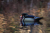 Portrait of a Male Wood Duck  Aix Sponsa  Resting in the Water